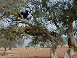 شجرة الأرغان النادرة الموجودة المغرب 844.jpg